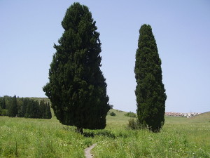 1200px-The_Two_Cypresses_in_Ramat_Hshna'im,_Israel